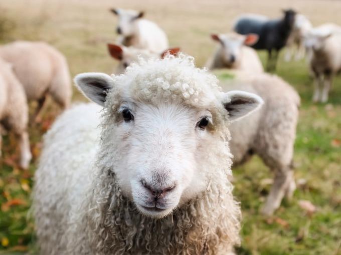 sheep cute.jpg